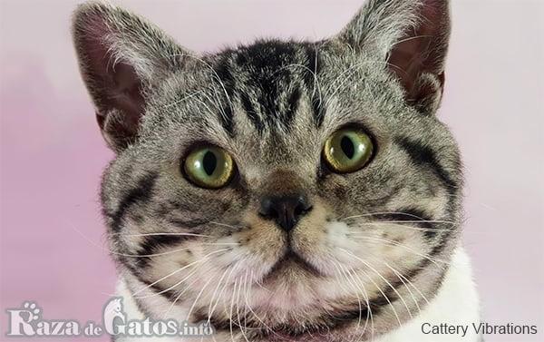 Foto de la carita del gato americano de pelo duro