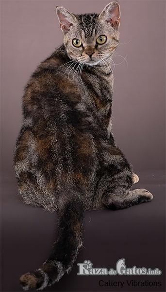 Imágen del gato americano de pelo áspero.