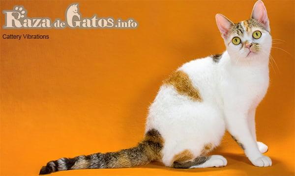 Foto de un gatito american wirehair tricolor.