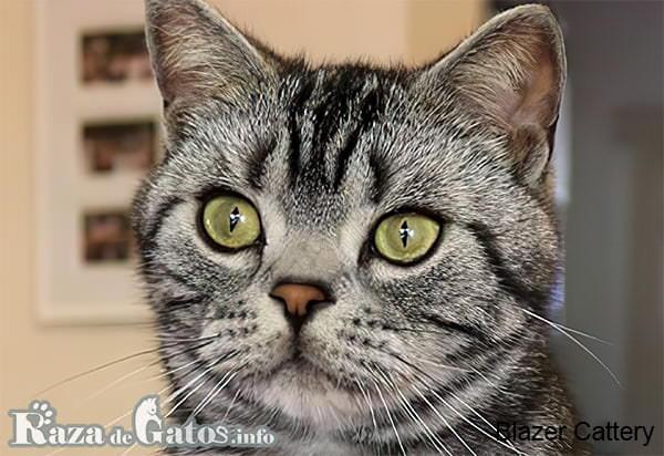 Imágen de la cara del gato americano de pelo corto.