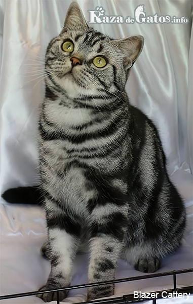 Foto del gato american shorthair en una habitacion.