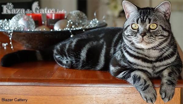Foto del gatico americano de pelo corto acostado sobre una repisa.