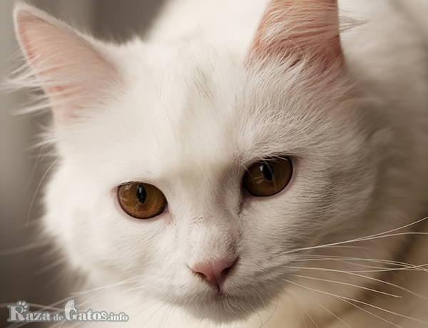 Foto de la cara del gato angora turco.