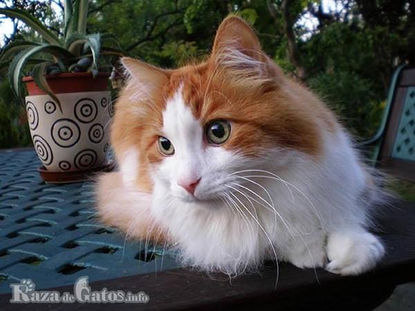 Imágen del gato Angora relajado en su siesta.