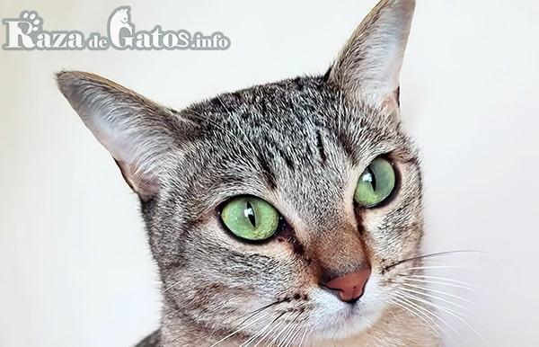 Foto del gato Australian Mist.