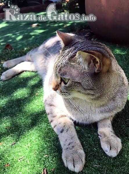 Foto del gato mist australiano, también llamado gato niebla australiana.