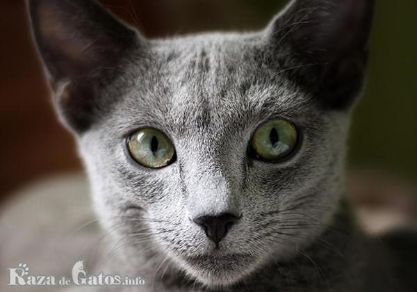 Foto de la cara del gato azul ruso.