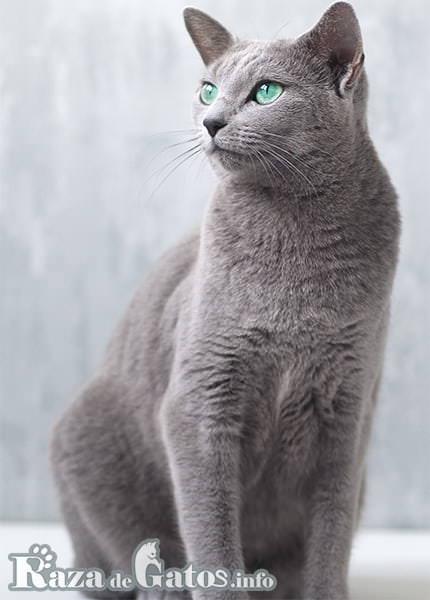 Imágen del gato Azul Ruso, sentado y posando para la foto.
