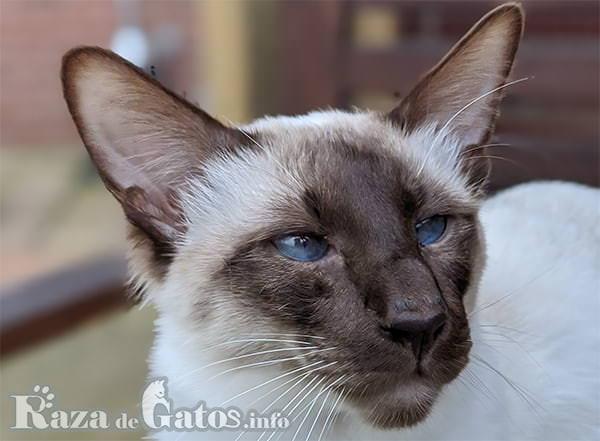 Foto de la cara del gato Balinés.