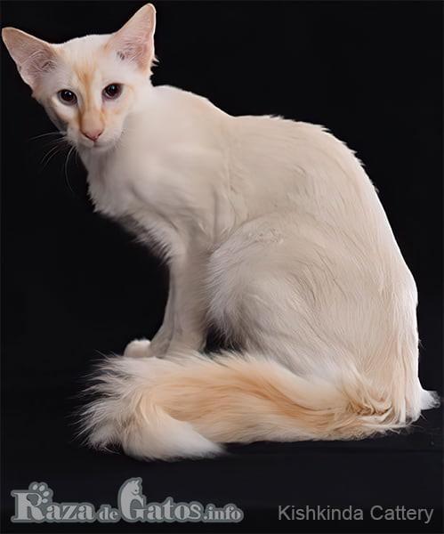 Imágen del gato balinés sentado.