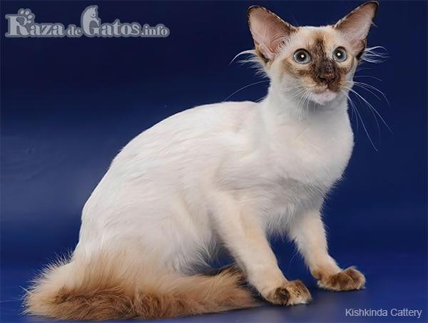 Foto del gato balinese.