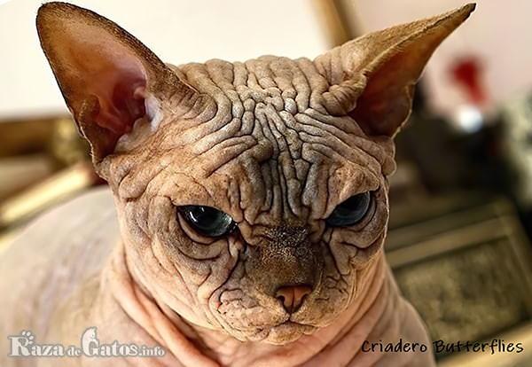 Foto de la cara del gato bambino.