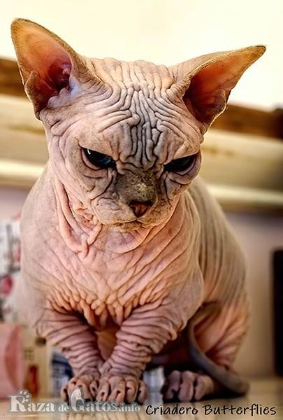 Imágen del gato esfinge enano o (Bambino).