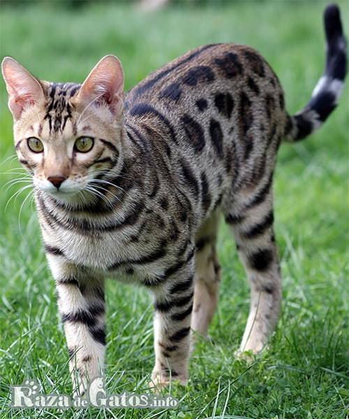 Foto del gato Bengala en el parque.
