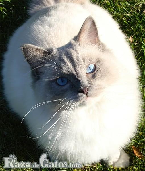 Imágen del gato sagrado de birmania, posando para la fotografía.