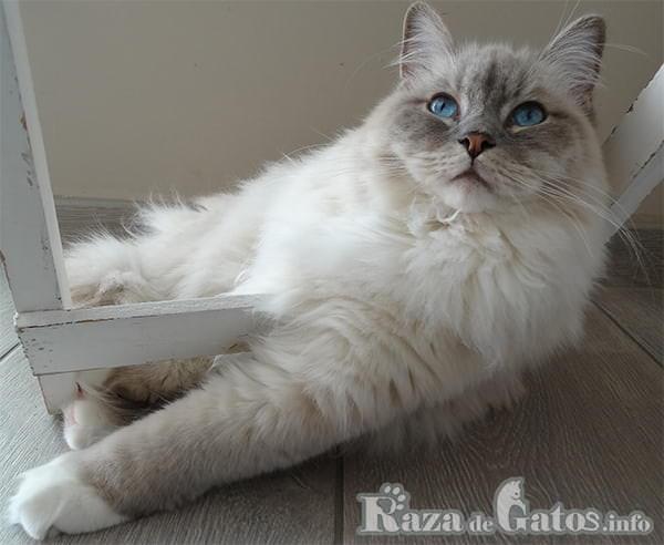 Foto del gato sagrado de birmaña divirtiendose.