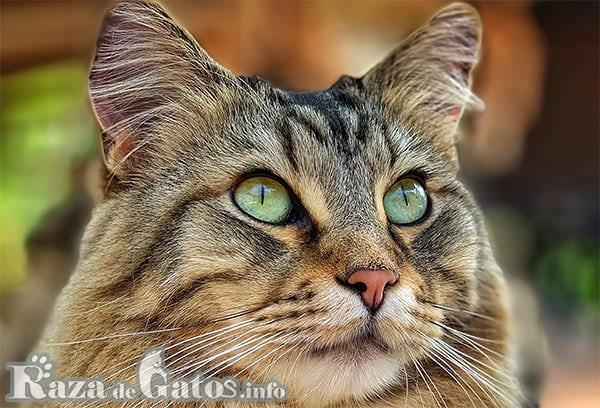 Foto de la cara del gato Bobtail Americano.