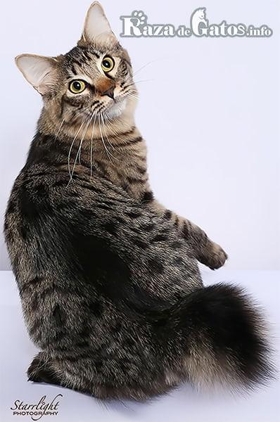 Imágen del gato bobtail americano de pelo corto.