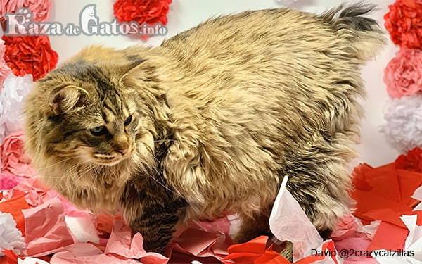 Foto del gato bobtail americano de pelo largo.