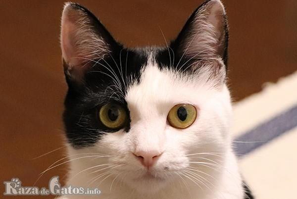 Foto de la cara del gato bobtail japonés.