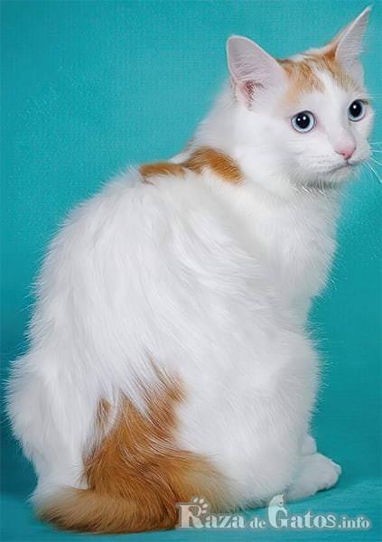 imágen del gato bobtail japonés. El mismo gato que representa a Hello Kitty.
