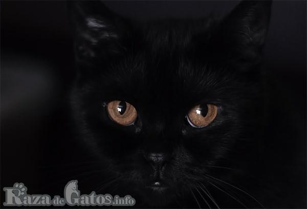 Foto de la cara del gato bombay.