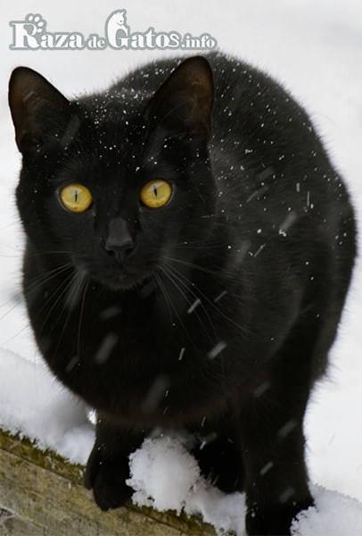 """Imágen del gato Bombay tambien llamado """"gato pantera negra"""", en el exterior de su casa."""