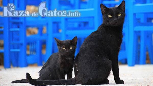 Foto de dos gatos bombay, la madre con su cría.