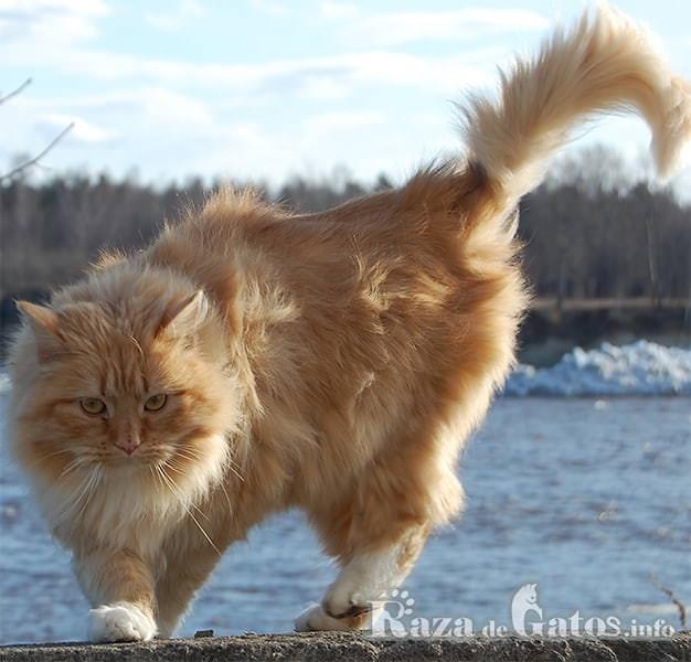 Imagen del gato bosque de noruega en epoca invernal.