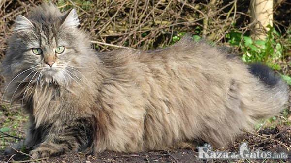 Foto del gato bosque de noruega o en ingles (norwegian forest cat).