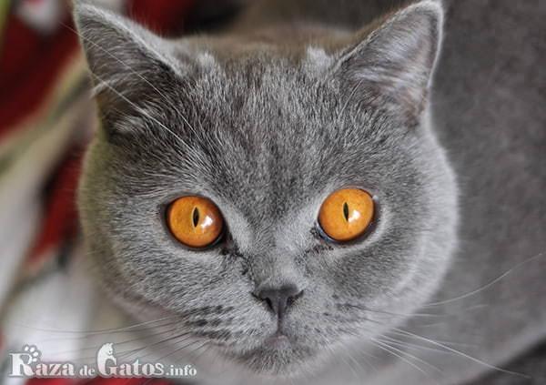 Foto del gato británico de pelo corto.