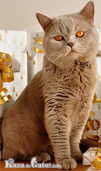 Imágen del gato británico sentado.