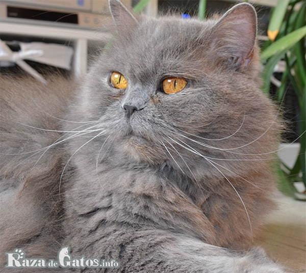 foto del gato británico de pelo largo.