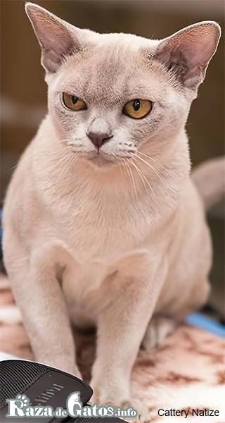 "Foto del gato burmese europeo, o en ingles, ""European Burmese cat""."