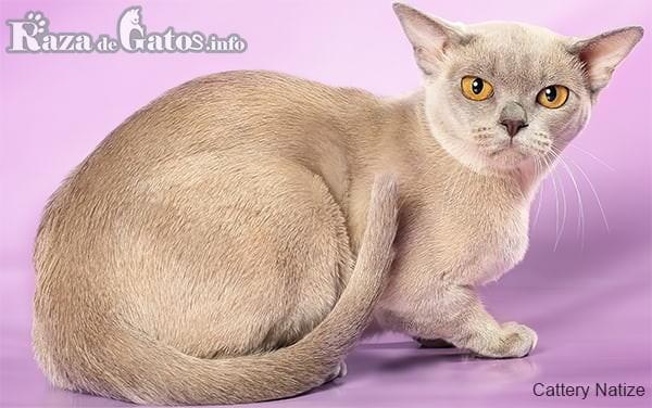 Imágen de la raza de gatos Burmés Europeo, descansando en su hogar.