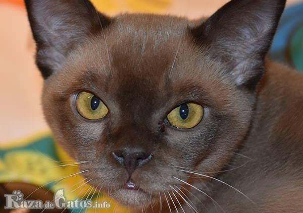 Foto de la cara del Gato Burmés.