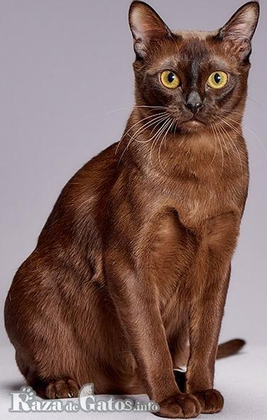 Imagen del gato Burmés, en sus diversas tonalidades del color marrón.