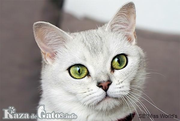 Foto de la cara del gato Burmilla.