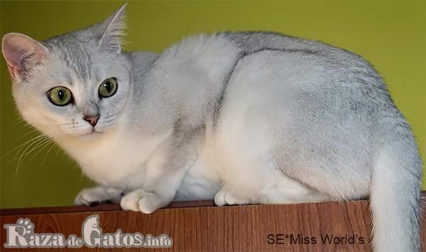 Foto del imponente y elegante gato Burmilla.