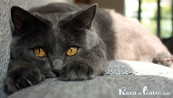 imágen del gato chartreux, también conocido como el gato cartujo.