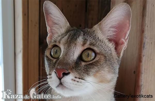 Foto de la cara del gato Chausie.