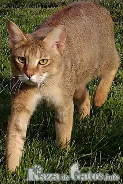 Imágen del gato Chausie, y su apariencia similar a la de un Puma en miniatura.