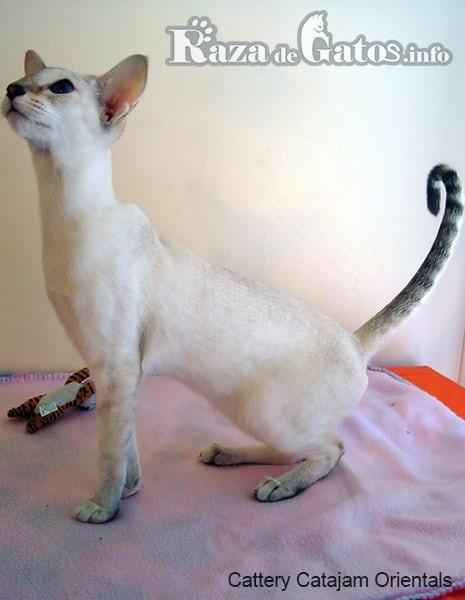 Imagen que refleja la elegancia del gato colorpoint de pelo corto.