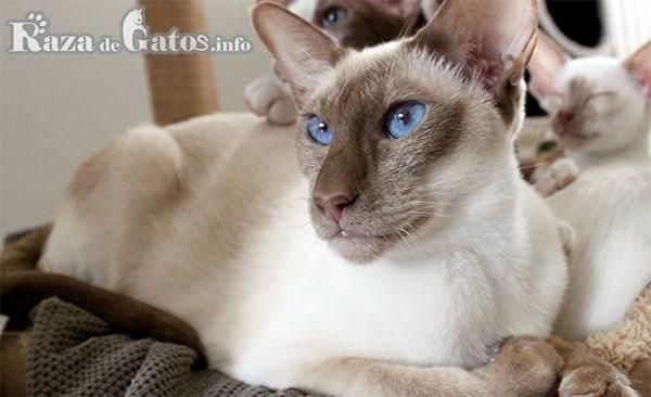 Foto del gato colourpoint shorthair.