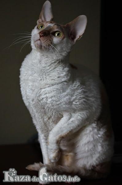 Foto del gato cornish rex, mostrando su precioso pelaje ondulado.