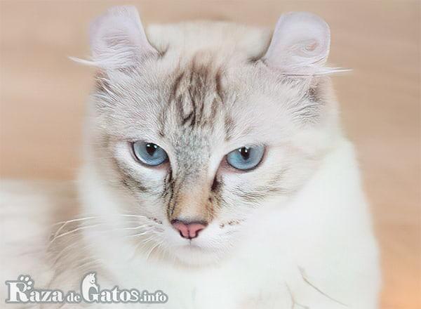 Fotografía de la cara del gato Curl Americano.
