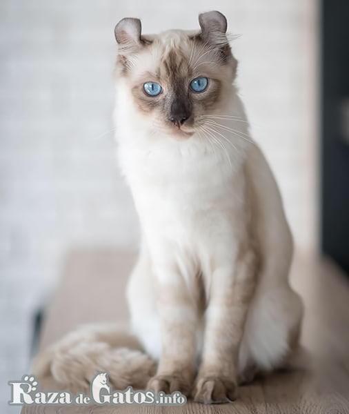 Foto del gato American Curl.