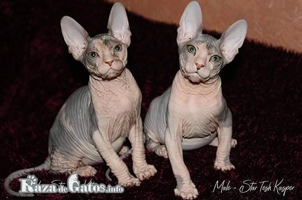 Imagen con foto de dos gatitos Don Sphynx.