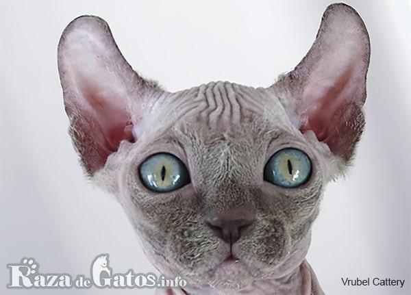 Imágen de la cara del gato Dwelf.
