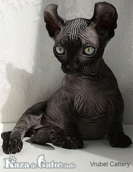 foto del gatito Dwelf bebé.